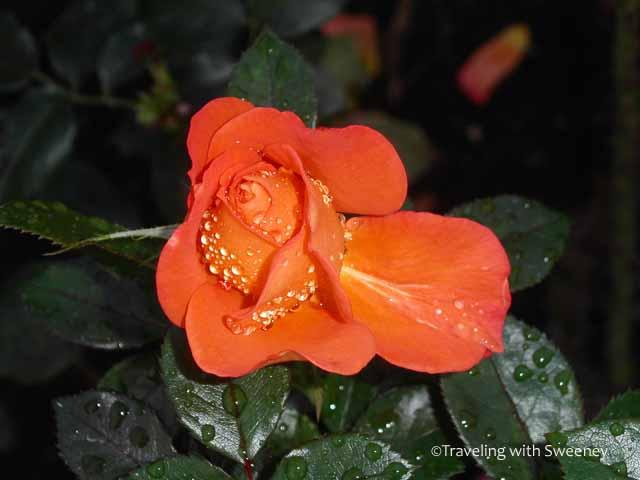 """""""Raindrops on Roses in Regent's Park, London"""""""