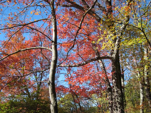 """""""Colorful autumn leaves at Minuteman National Park"""""""
