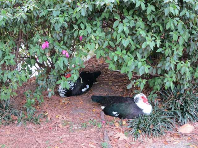 ducks at Sam Houston park