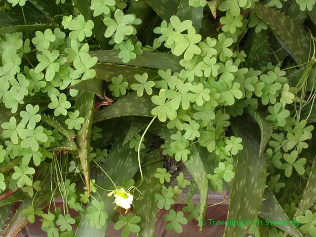 aloe and clover