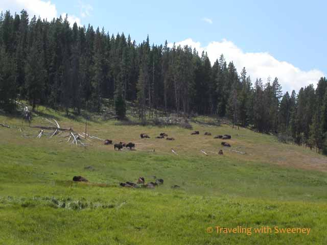 Bison on Hillside at Yellowstone National Park