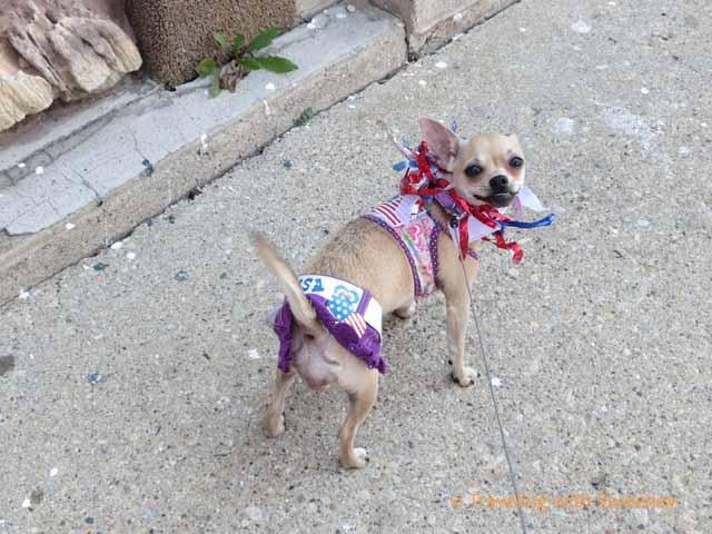 Chihuahua at Kids and Pets Parade