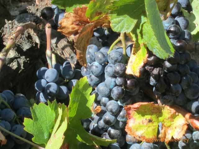 """Grapes on the Vine in Catalonia wine country"""