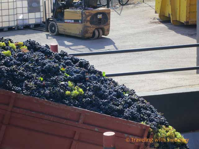 Grapes being dumped into the crusher