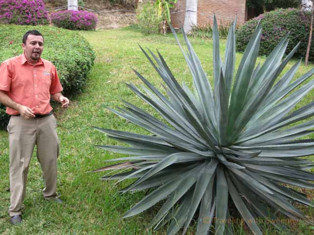 """Our guide, Rodolfo Osuna, showing us a blue agave plant"""
