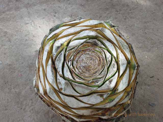 """""""The Pineapple Core of the Blue Agave Plant"""""""