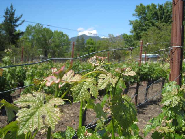 """Growing vines are more good things about spring in the Napa Valley at Tedeschi Family vineyard"""
