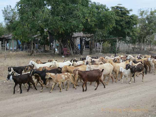 """""""Goats being herded down a dirt road in rural area near Mazatlan, Mexico"""""""