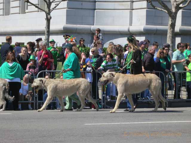"""Huge Irish Wolfhounds marching in the San Francisco St. Patrick's Day parade 2013"""