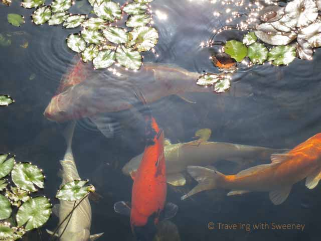 """""""Koi swimming in poind at Japanese Tea House, themselves part of Grand Wailea art"""""""