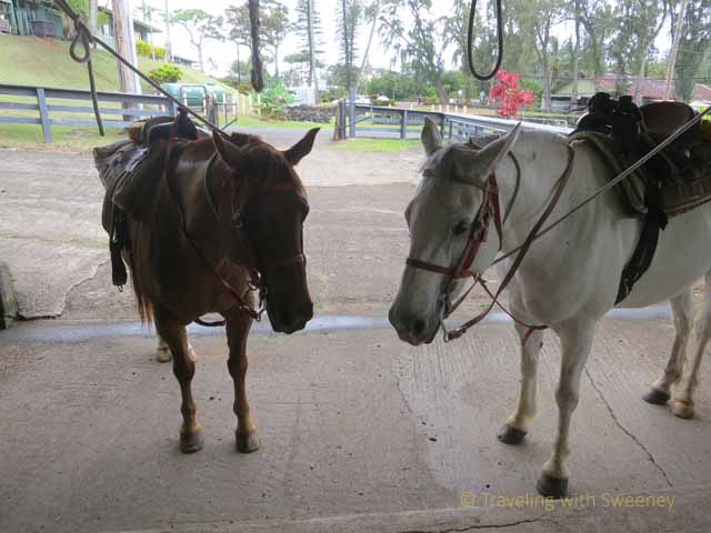 """Lucky and Cody await their riders at Hana Riding Stables in Maui"""