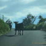Maui Road Trip: Running of the Bulls