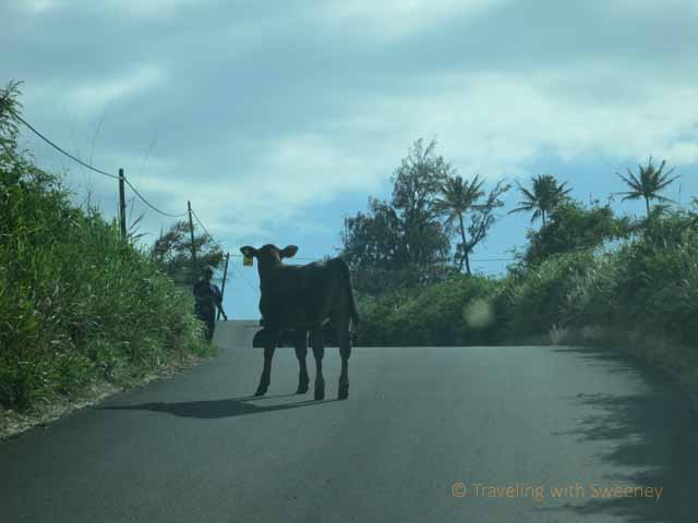 """Calf on road from Hana on the backside of Haleakala Mountain"""