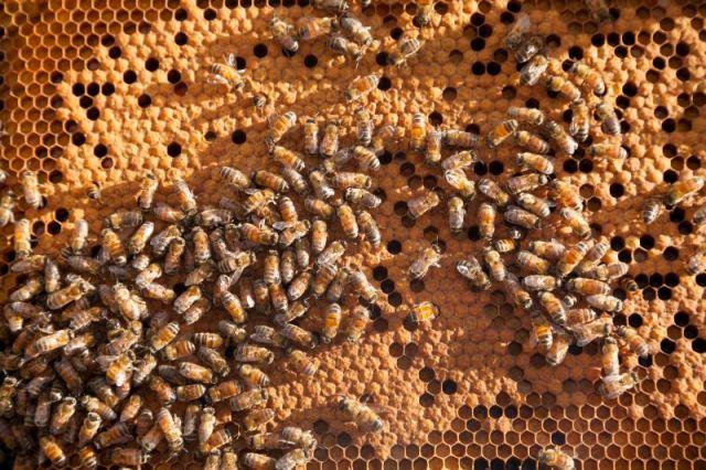 """""""Bees making honey at Grand Wailea's apiary, Maui"""""""