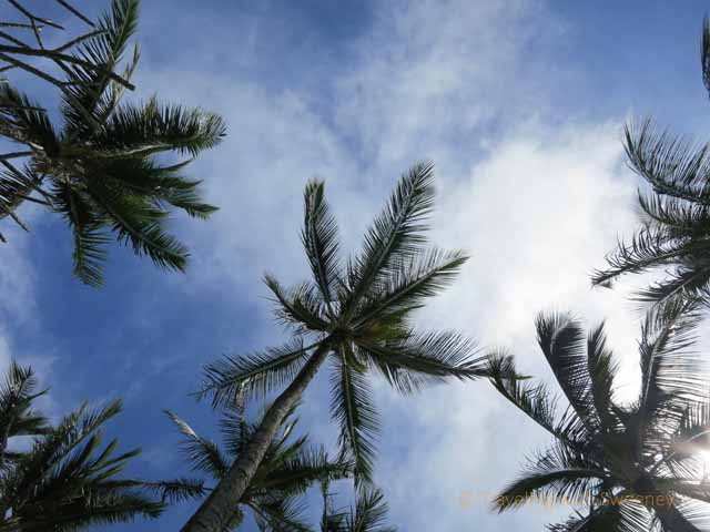 """Palm trees at a Maui resort"""