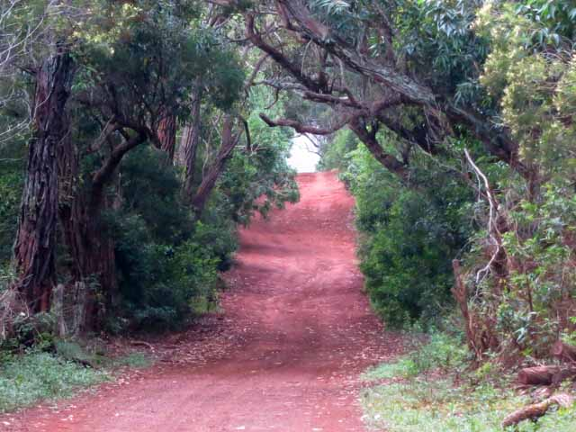 """Rough tree-lined dirt road to golf course on Molokai"""