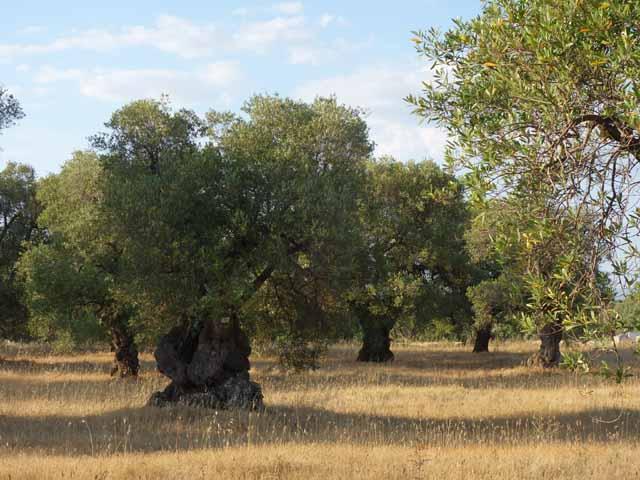 """""""Masseria Il Frantoio olive grove in Ostuni, Italy"""""""