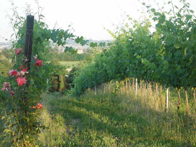 """Collina dei Poeti vineyard"""