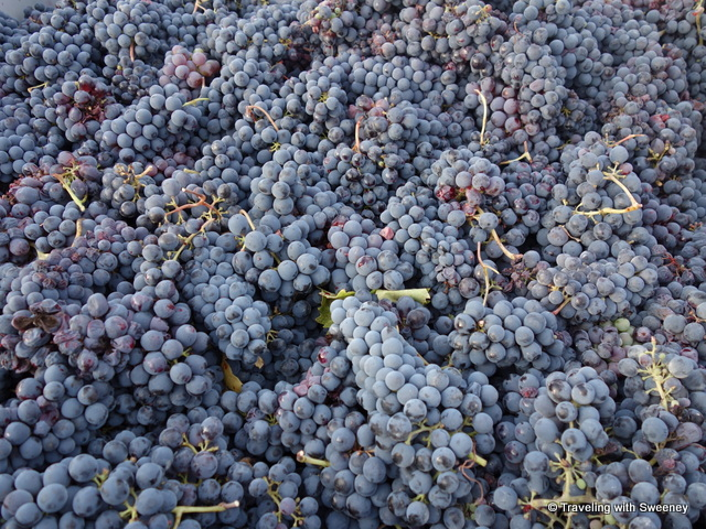 """Gorgeous sangiovese grapes at AltaVita Winery in Cesena, Italy"""