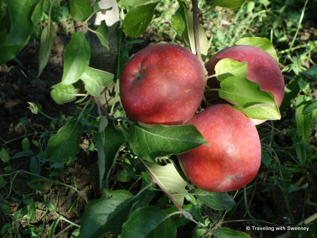 """Fuji apples on the tree in an orchard of Cesena, Ita'"""