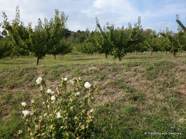 """Fruit trees at AltaVita Winery in Cesena, Italy"""