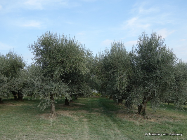 """Olive grove at AltaVita Winery in Cesena, Italy"""