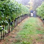 Into the Vineyards at Tenuta Masselina