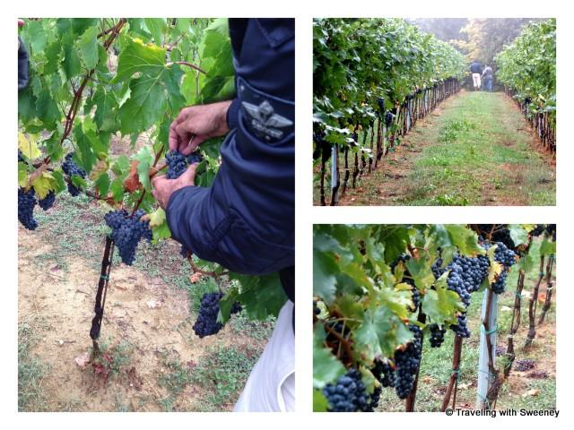 """Lush Sangiovese grapes on the vine at Tenuta Masselina, Ravenna province, Italy"""
