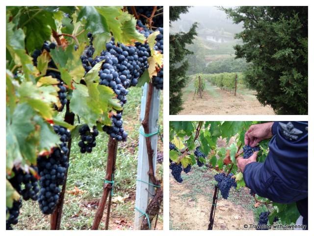 """Deep blue of the ripe Sangiovese grapes at Tenuta Masselina, Emilia-Romagna Italy"""