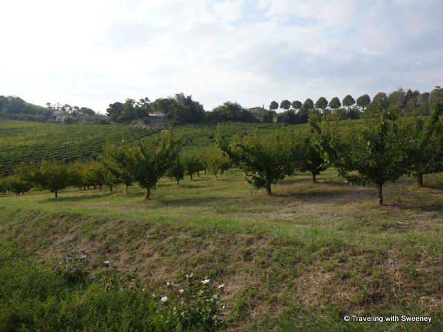 """Rows of vines at Altavita in Cesena, Italy"""