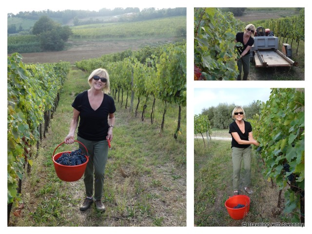 """Harvesting grapes by hand at AltaVita Vineyards in Cesena, Italy'"