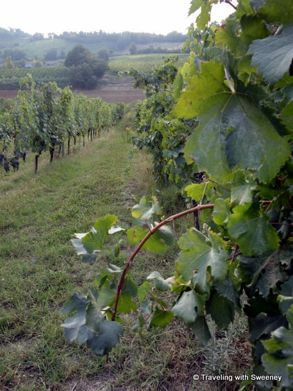 """Grapevines of Altavita winery in Cesena Italy"""