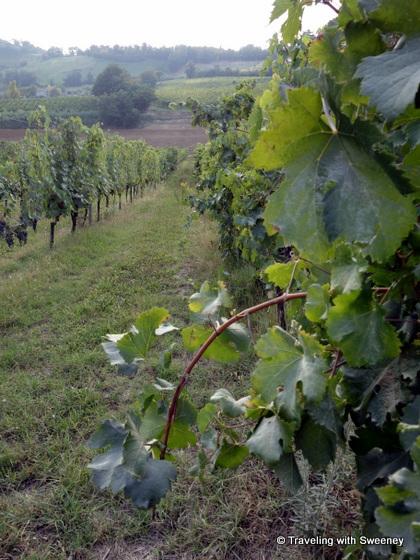 """Grapevines of Altavita winery in Cesena Italy"""