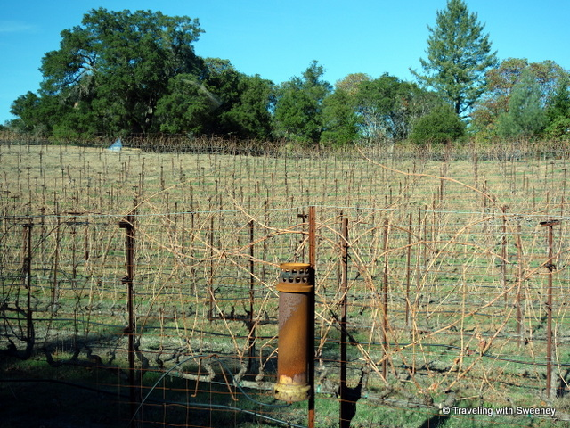 """Sangiovese vineyard with heaters made from howitzer shells at Long Meadow Ranch, Napa"""