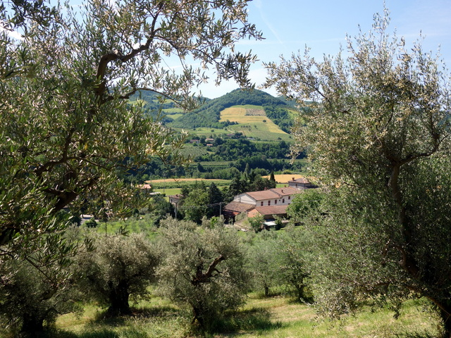 """Olive groves of Emilia-Romagna region -- Brisighella, Italy"""