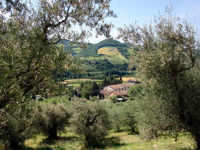 """""""Olive groves of Emilia-Romagna region -- Brisighella, Italy"""""""