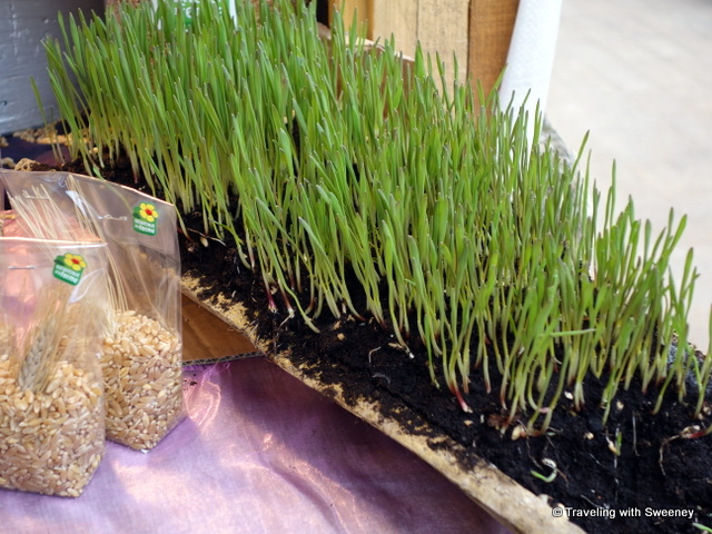 One of the Christmas traditions in Provence -- Dishes of fresh green wheat sprouts planted on the Feast of Saint Barbara --- a Provencal Christmas tradition