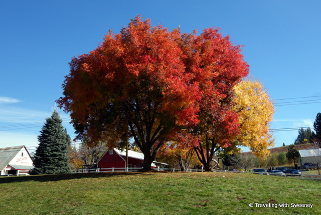"""Beautiful fall color at Larsen Apple Barn, Camino, California"""