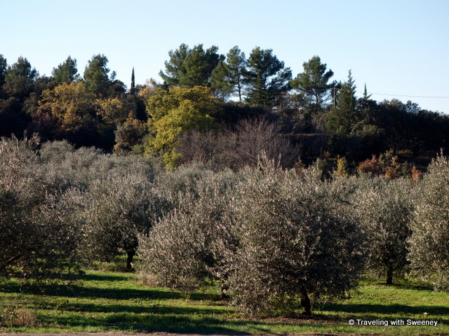 Olive groves of Moulin du Clos des Jeannons in Gordes, Vaucluse department of France