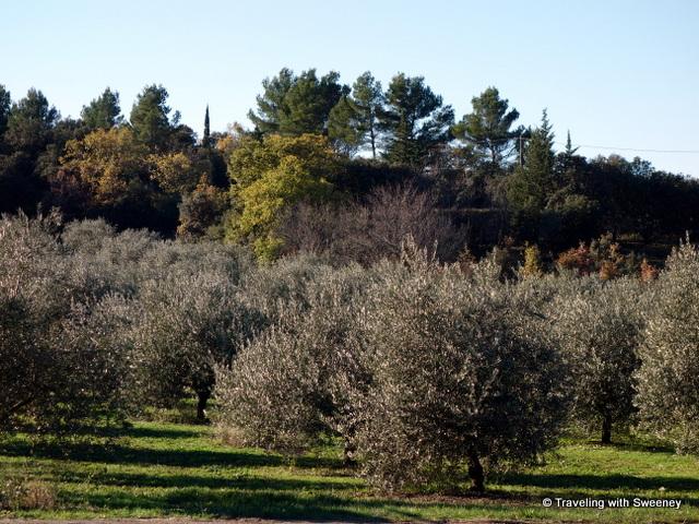 Olive groves of Moulin du Clos des Jeannons in Gordes, Vaucluse department of France
