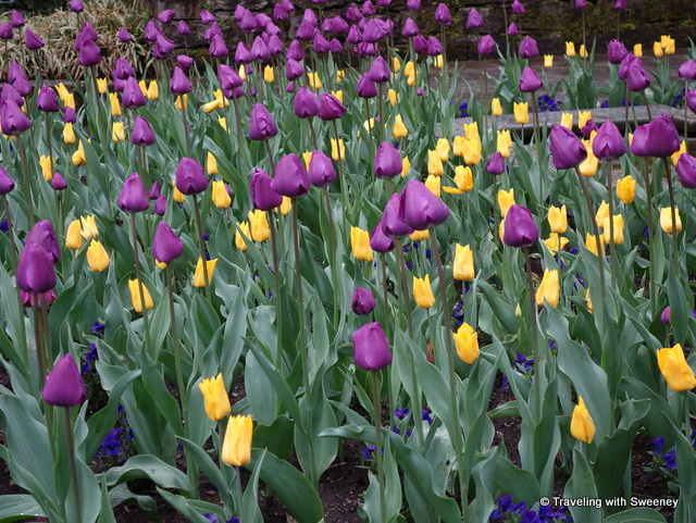 A bed of purple and yellow tulips in the Botanical Gardens of Villa Taranto