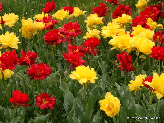 Red and yellow tulips that look more like roses at Villa Taranto, one of the beautiful gardens of Lake Maggiore