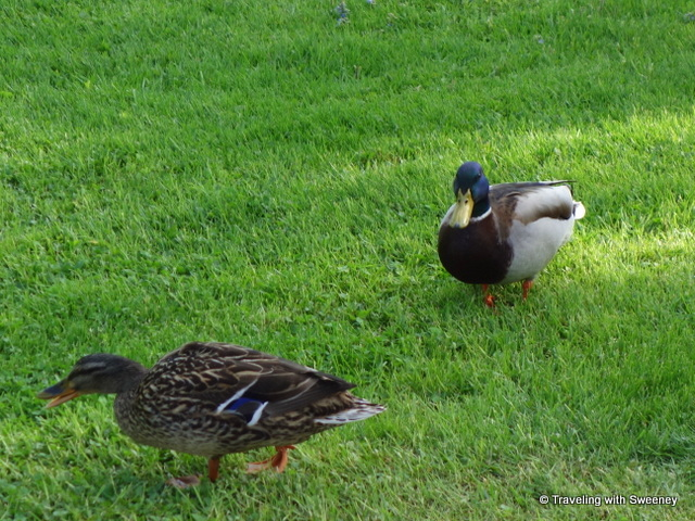 Our pretty ducks at Casa del Lago