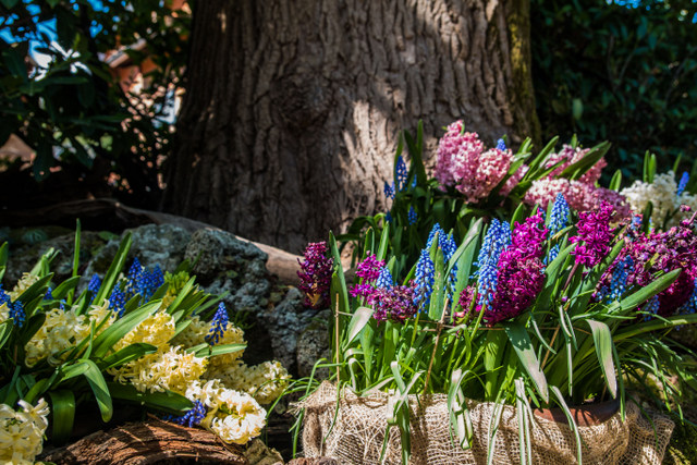 Beautiful hyacinth -- Photo credit: Emilia Grisetti