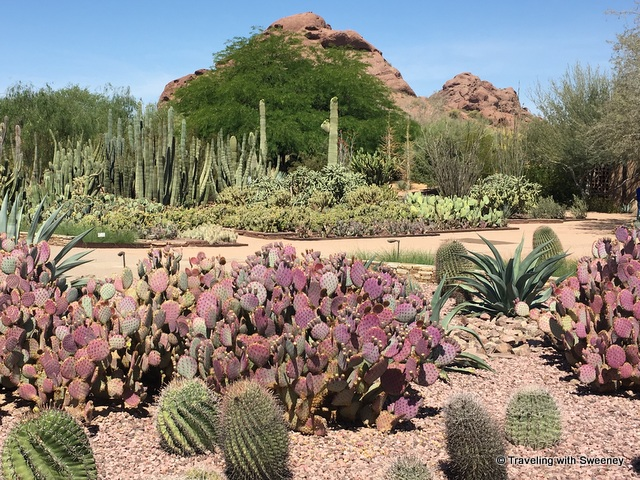 On one of the five trail loops through the Desert Botanical Garden